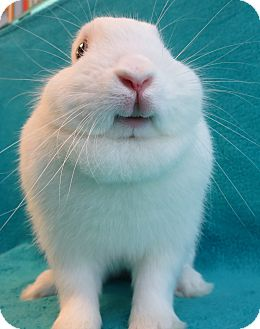 Dwarf Mix for adoption in Los Angeles, California - Smiley Bunny