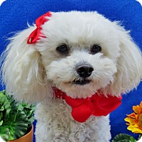 Poodle (Miniature) Dog for adoption in Irvine, California - Tiffi