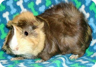 Guinea Pig for adoption in Steger, Illinois - Smarty