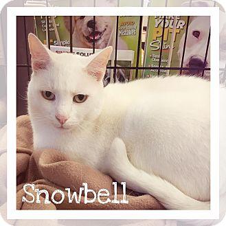 American Shorthair Cat for adoption in Richmond, Virginia - Snowbell