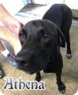 Labrador Retriever Mix Dog for adoption in Ottumwa, Iowa - Roxy(Athena)