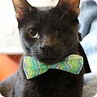 Domestic Shorthair Cat for adoption in Sarasota, Florida - Blue