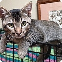 Domestic Shorthair Cat for adoption in Buhl, Idaho - Macks