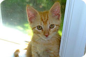 Domestic Shorthair Kitten for adoption in Durham, North Carolina - Fitz
