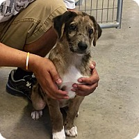 Adopt A Pet :: Bull - Clifton, TX