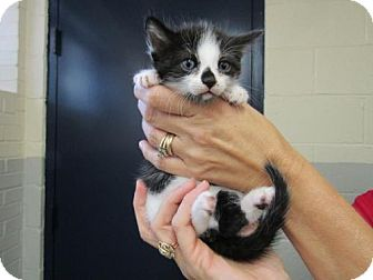 Domestic Shorthair Kitten for adoption in Oakhurst, New Jersey - Harper