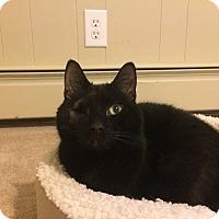 Domestic Shorthair Cat for adoption in North Wilkesboro, North Carolina - Midnight
