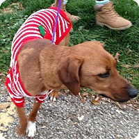 Adopt A Pet :: 48206 Holly Hound (knows some tricks) - Zanesville, OH