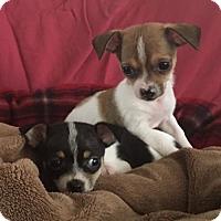 Adopt A Pet :: Will - Chino Hills - Chino Hills, CA