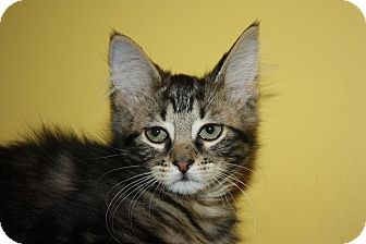 Domestic Mediumhair Kitten for adoption in Little Falls, New Jersey - Dixie (LE)