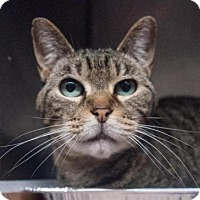 Domestic Shorthair Cat for adoption in Decatur, Georgia - Tia