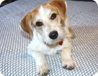 Fox Terrier (Wirehaired)/Dachshund Mix Dog for adoption in Bellflower, California - Cavanaugh