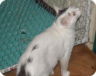 Domestic Mediumhair Cat for adoption in Scottsdale, Arizona - Loving Charmin- Defender
