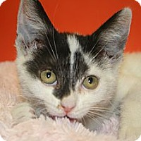 Adopt A Pet :: BELLA - SILVER SPRING, MD