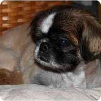 Adopt A Pet :: Niko-VA - Mays Landing, NJ