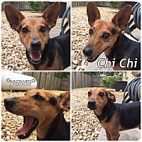 Adopt A Pet :: Chi Chi - Palmetto Bay, FL