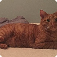 Domestic Shorthair Cat for adoption in Staten Island, New York - Mickey