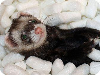 Ferret for adoption in Indianapolis, Indiana - Peekaboo