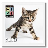 Adopt A Pet :: Caprica - Palm Desert, CA