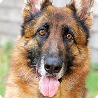 German Shepherd Dog Dog for adoption in Wayland, Massachusetts - Daisy