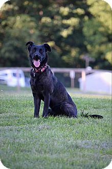 Labrador Retriever/Hound (Unknown Type) Mix Dog for adoption in Columbia, Pennsylvania - Lola