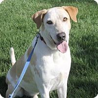 Labrador Retriever/Australian Cattle Dog Mix Dog for adoption in Palo Alto, California - Odie
