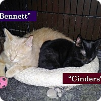 Domestic Shorthair Kitten for adoption in Irwin, Pennsylvania - Cinders