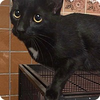 Domestic Shorthair Cat for adoption in THORNHILL, Ontario - Eden