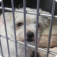 Adopt A Pet :: Stella - Vallejo, CA