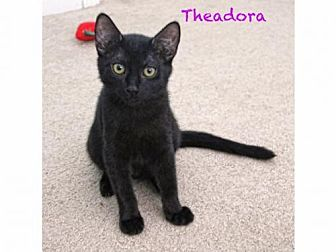 Domestic Shorthair Cat for adoption in Walnut Creek, California - Theadora