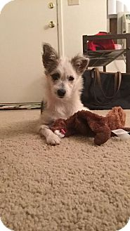 Terrier (Unknown Type, Small)/Yorkie, Yorkshire Terrier Mix Dog for adoption in Cincinnati, Ohio - Olive