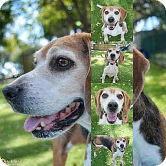 Beagle Dog for adoption in Clearwater, Florida - Bonkers