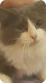 RagaMuffin Cat for adoption in Griffin, Georgia - Ms Blue Belle