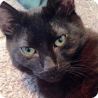 Domestic Shorthair Cat for adoption in New York, New York - Ollie