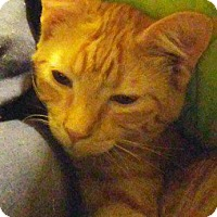 Adopt A Pet :: Pumpkin - Danbury, CT