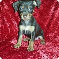 Adopt A Pet :: Blarney - Seaford, DE