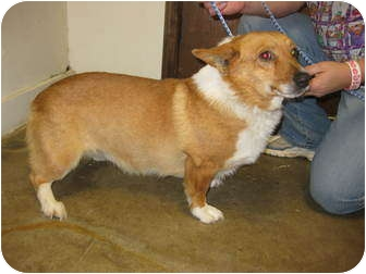 Welsh Corgi Mix Dog for adoption in Inola, Oklahoma - Steve