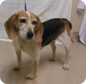 Beagle Mix Dog for adoption in Gary, Indiana - Matilda
