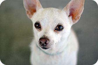 Chihuahua Dog for adoption in Studio City, California - Leo