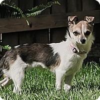 Adopt A Pet :: BooBoo - Vacaville, CA