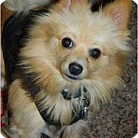 Adopt A Pet :: Foxy - Honaker, VA