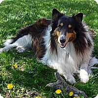 Adopt A Pet :: Big Lassie - Minneapolis, MN