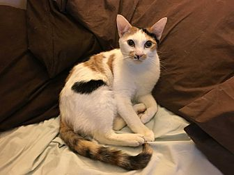Domestic Shorthair Cat for adoption in New York, New York - Buffy