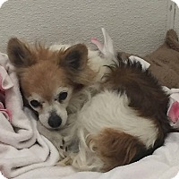 Chihuahua/Pomeranian Mix Dog for adoption in Scottsdale, Arizona - Max3
