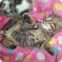 Adopt A Pet :: corky - Glen cove, NY