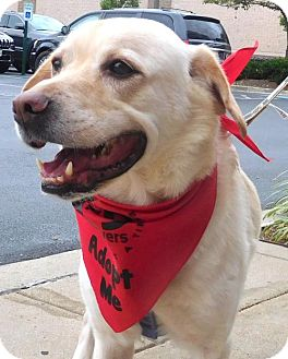 Labrador Retriever/Corgi Mix Dog for adoption in Rockville, Maryland - Andrew
