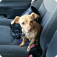 Chihuahua/Dachshund Mix Dog for adoption in Albuquerque, New Mexico - Paige