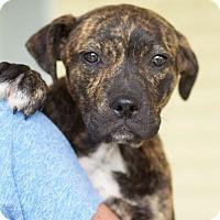 Adopt A Pet :: Star - Huntsville, AL