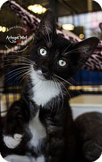 Domestic Shorthair Kitten for adoption in Mooresville, North Carolina - A..  Jet