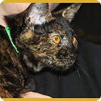 Domestic Shorthair Kitten for adoption in South Bend, Indiana - Bailey